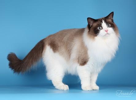 Ragdoll Kissa
